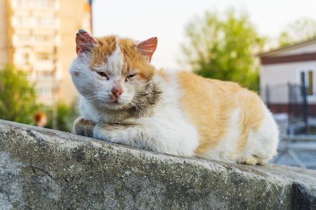 A white red-haired beautiful cat with a large wound in the head area sits on the walkways over the warm sun in the city