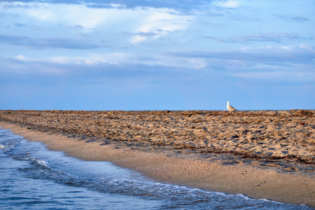 A lone seagull on the seashore walks along the sand during sunset on a warm summer day