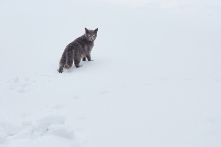 dark gray cat walks on fresh white deep snow on the territory of a private house on a cold winter day