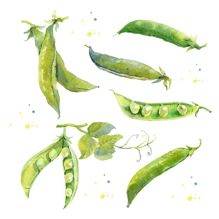 green peas: Hand drawn watercolor illustration of fresh green peas. Peapods. Isolated on the white background