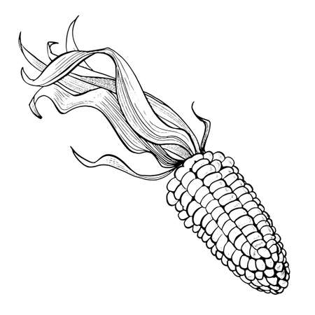 Corn hand drawn vector illustration set. Isolated on white engraved style vector. Corn. Detailed hand drawn illustration. Hand drawn Corn for menu, label, icon, etc 矢量图像