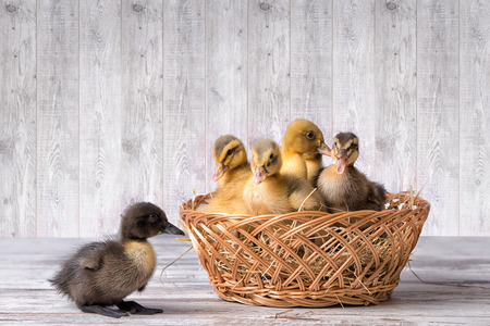 Cute ducklings in wicker basket. One duck fell out of their baskets.