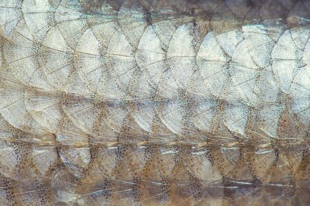 Fish scales texture.Top view, background.