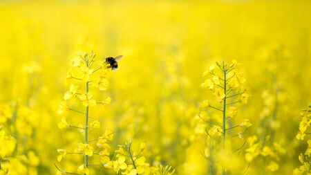 Bumble bee gathers nectar on the canola field