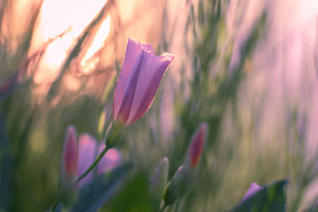 Pink flower of a field bindweed on a background of blurred grass in the early morning