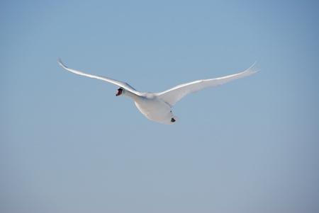 Swan Lizenzfreie Bilder
