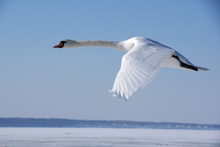 The white swan flies in the  blue sky