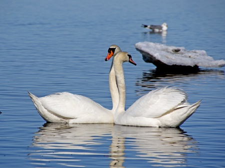 touched: Swans have gently touched to each other Stock Photo