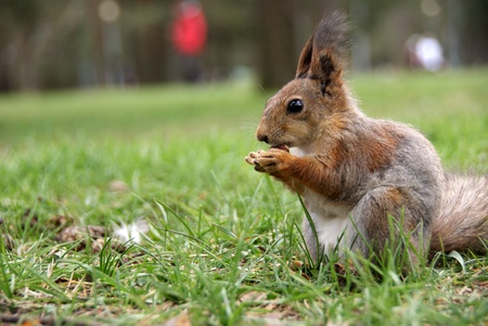 Squirrel is on a grass and eats a nut