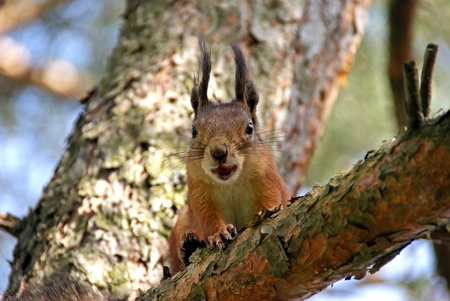 squirrel sits on a tree and gnaws a nut