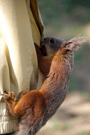 Squirrel climbs in a pocket and gets nuts