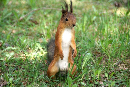 nimble: Squirrel  costs on hinder legs on a background of a grass Stock Photo