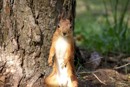 Squirrel  is on a background of a tree