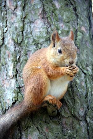 flink: Eichh�rnchen sitzt auf einem Baum und nagt eine Nuss