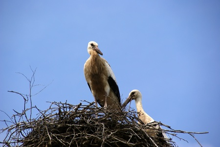 Pair storks are in the jack