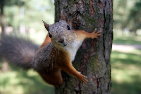 nimble: The small amusing fluffy animal lives in coniferous forests