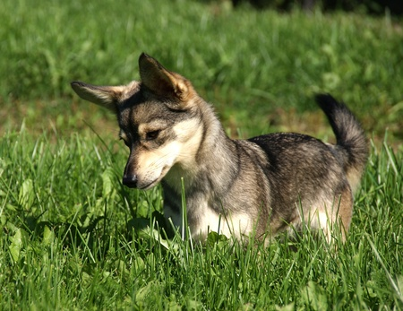 The puppy on a background of a green grass Stock Photo