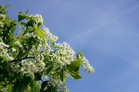 Flowers of a bird cherry and the blue sky