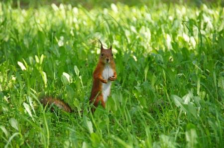 Eichh�rnchen-Kosten in der Mitte eines gr�nen Gras
