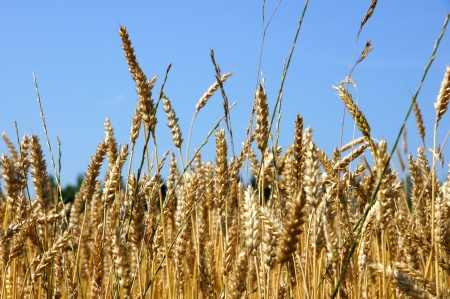Grain ready for harvest growing in a farm field photo