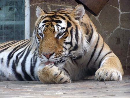 The adult Amur tiger licks the paw