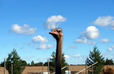 Ostrich on a background of the blue sky