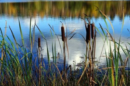 Cane und See auf einem Hintergrund von Reflexionen des Himmels