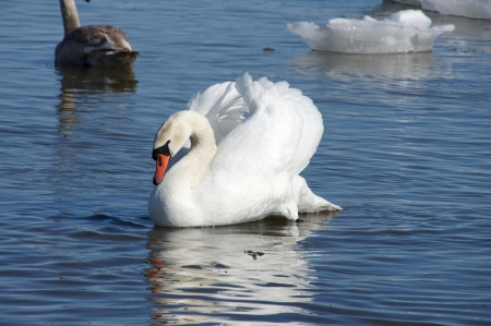 White swan on a background of blue water