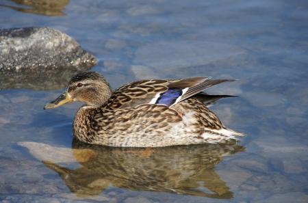 Ente auf einem Hintergrund von einem Wasser