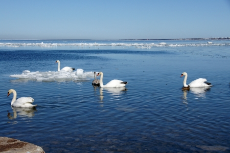 White swans on a background of the blue sky and the sea Stock Photo