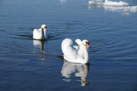 White swans on a background of water
