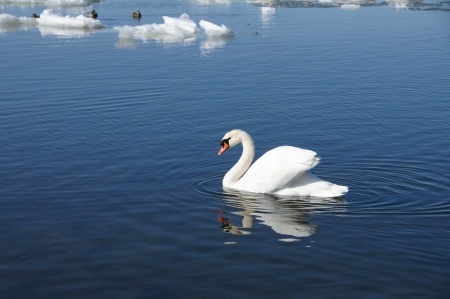Swan on a background of an ice and water
