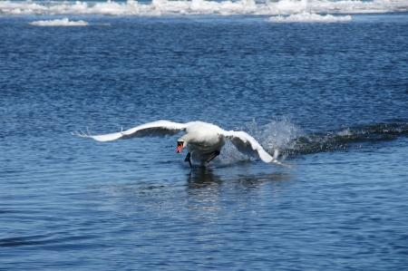 Wei�er Schwan auf dem Hintergrund des blauen Wasser