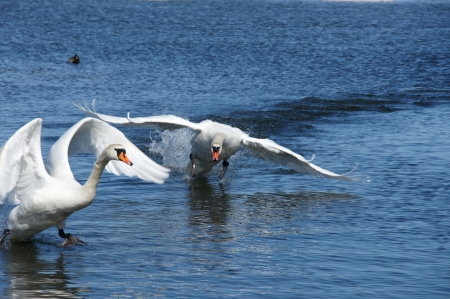 White swans on a background of  the sea Stock Photo