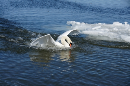 White swan on a background of  the sea Stock Photo