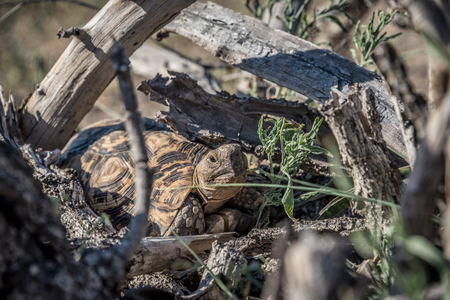 African Tortoise in the wild hiding in dead tree branches Stock Photo