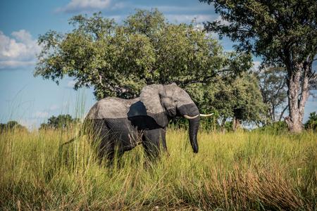 Lone elephant walking from the water in the Okavango Delta Botswana