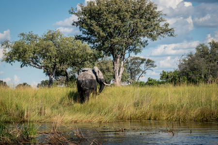 Lone elephant walking from the water in the Okavango Delta Botswana