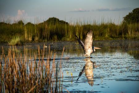 Pelican taking flight reflected in the water on the Okavango Delta Imagens