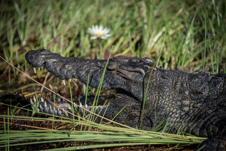 Crocodile close up warming in the sun in the Okavango Delta Botswana