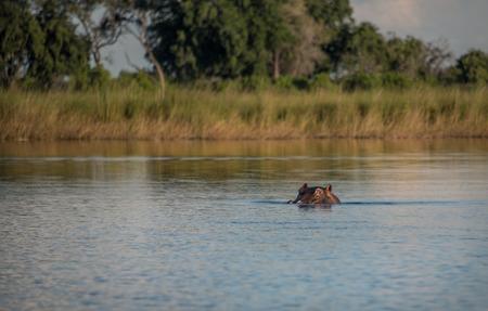 Hippo in the water in the Okavango Delta Botswana Africa