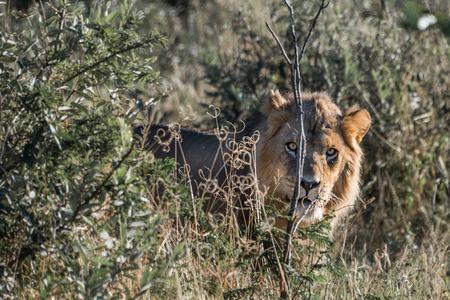 Male lion in long grass in the bush in Botswana