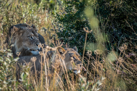 Male and female lions peering through the grass in Botswana