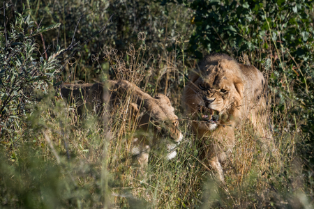 Male and female lions fighting during mating ritual