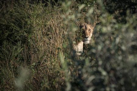 Femail lioness peering through the grass in Botswana Imagens