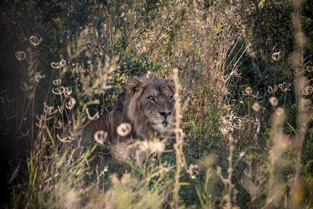 Lion in lon grass Imagens