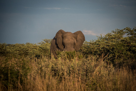 Lone elephant in the bush in Botswana