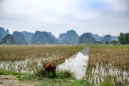 Rice fileds with cattle grazing Tam Coc Ninh Binh Vietnam