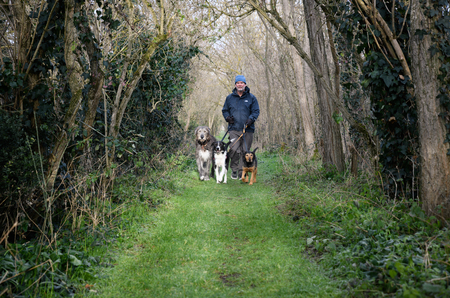 Man walking three dogs in the woods.