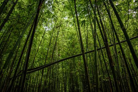 Bamboo Forest Sapa Vietnam